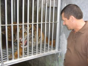Sumatra tiger INDONESIA